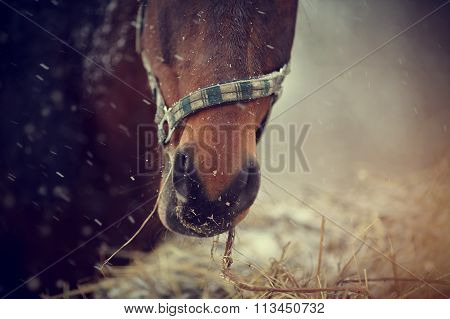 Muzzle Of A Brown Horse With Hay.
