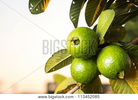 Fresh Green Guava