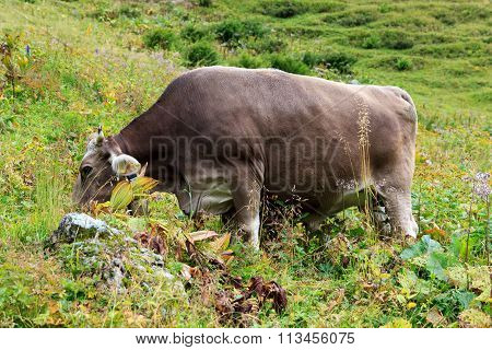 Cow browsing in the Allgau on a meadow