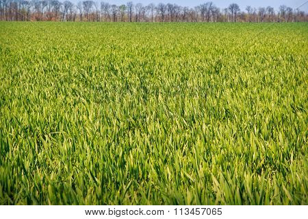 View Of Boundless Green Wheat Field