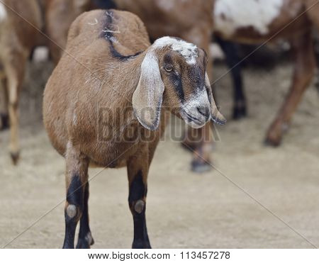 Brown Domestic Goat in a Farm