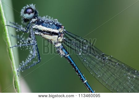 damselfly with water bubble