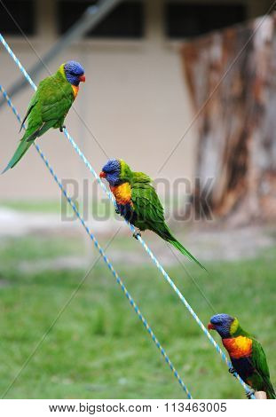 Three Australian Rainbow Lorikeets are sitting on a tent rope