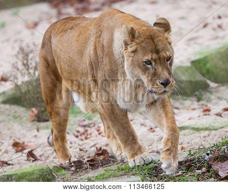 Lion On Alert