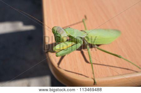 The Big Mantis