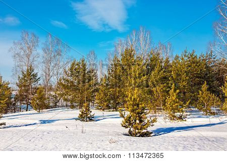 Winter Landscape With Birches And Young Pines
