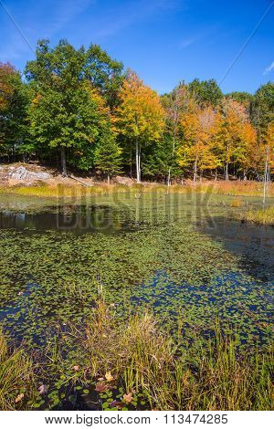 Adorable little swamp overgrown with water plants. Bright orange autumn in park - safari  in Canada