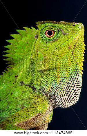 Chameleon agama (Gonocephalus Chamaeleontinus)
