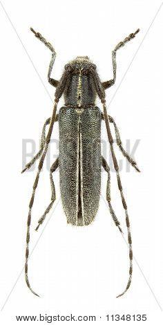 Agapanthia Cardui Male