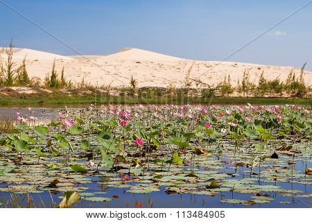 Lake Of Lotuses At White Sand Dunes - Bau Sen, Bau Trang, Vietnam.