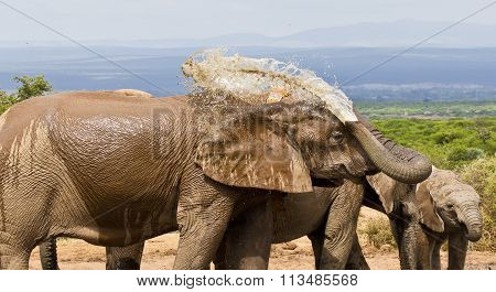 African Elephant Spraying Water On Its Back