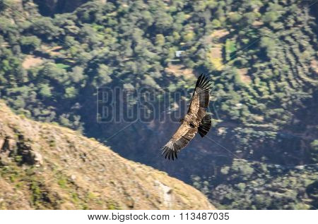 Condors Flying In Colca Canyon, Peru
