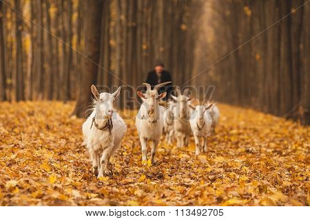 shepherd with a herd of goats