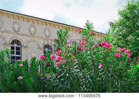 Oleanders In Front Of Faneromenis Church