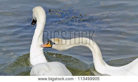 Two swans fighting