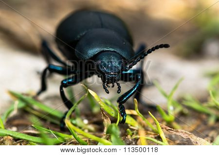 Bloody-nosed beetle (Timarcha tenebricosa)