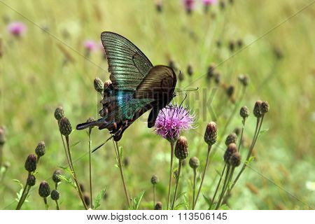 Butterfly, Black Swallowtail On A Red Flower.