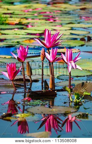 Red Lotus In Lake With Reflection In Water