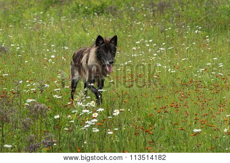 Black Phase Grey Wolf (canis Lupus) Runs In Field