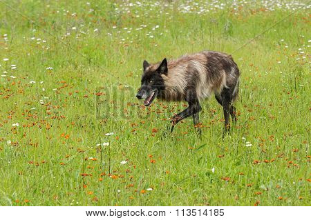 Black Phase Grey Wolf (canis Lupus) Stalks Left Through Field