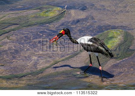 Saddle-billed Stork In Kruger National Park