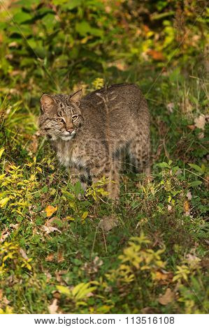 Bobcat (lynx Rufus) Stands In Grass