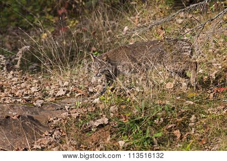 Bobcat (lynx Rufus) Creeps Through Grass