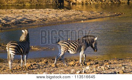 Burchell S Zebra In Kruger National Park