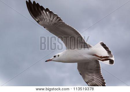 Beautiful bird, Brown headed Gull ,Seagull on flying profile. Bangpu Samuthprakharn,Thailand