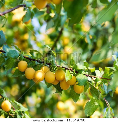 Yellow Fruits On A Tree