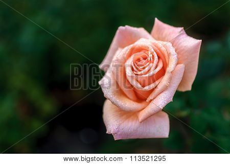 Pinkish Rose With Water Drops