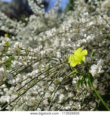 Isolated clover flower