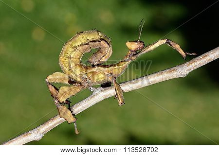 Giant  Prickly Stick Insect
