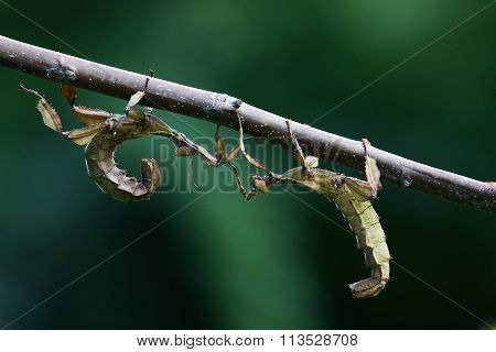 Two Giant  Prickly Stick Insect On The Branch