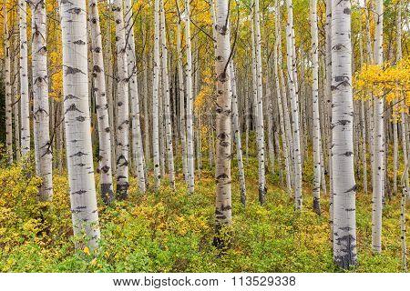 Aspen Grove in Fall