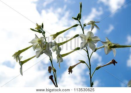Jasmine Tobacco Flowers Against Blue Sky