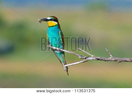 two bee-eaters sitting on a branch