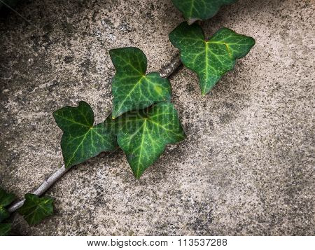 Green Ivy Against A Wall