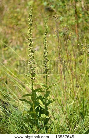 Broad-leaved helleborine (Epipactis helleborine) plant in flower