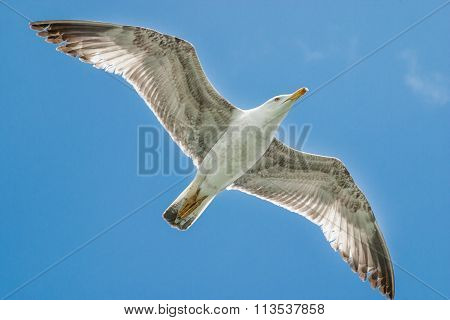 Overflying Seagull Against A Blue Sky