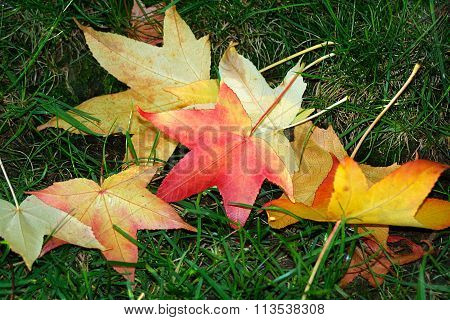 Red, Orange And Yellow Maple Leaves Fallen On Green Grass