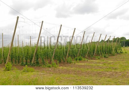 Hops growing on trellised vines in Southern Michigan