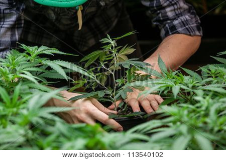 farmer planting his marijuana crop