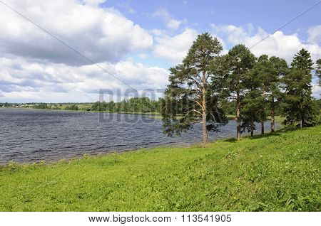 Pine Trees On The Lake Bank In Summer