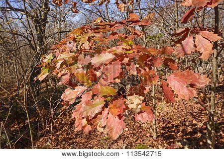 Oak Leaves In Fall Colors