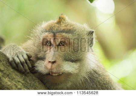 Wild Monkey Face Curious Funny Wildlife Habitat