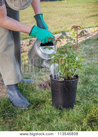 Female gardener watering potted rose shrub before planting it in in her backyard garden