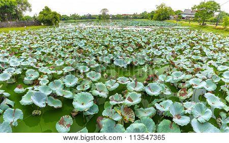 Lotus lagoon in the city of Hue, Vietnam