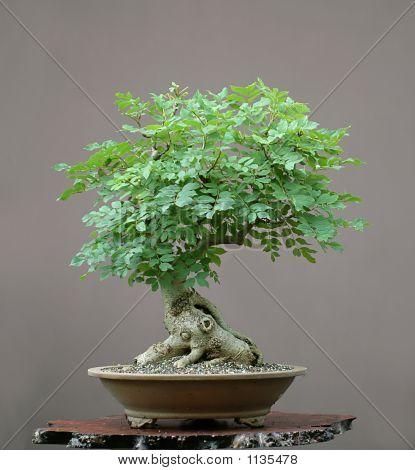 European Ash Bonsai In Summer