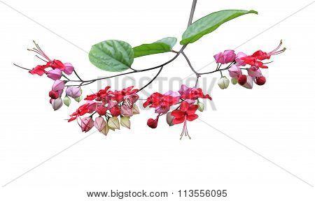Bleeding-heart Vine Flower